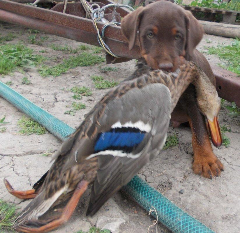 Будущий охотник!