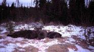 """""""Согжой""""  Охота на медведя  Якутия"""