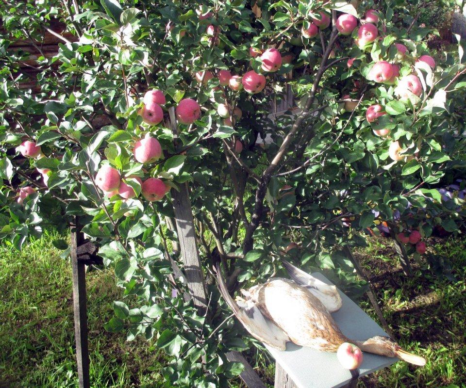 На яблоневый спас.