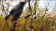 Crow hunting/Охота на ворону. Утиный манок на ворону?