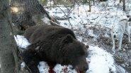 Охота на Медведя на Сахалине! Опасная охота.