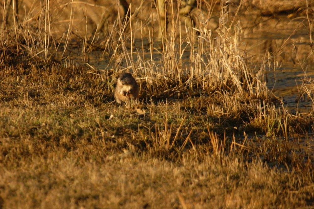 Опасный зверь - ондатр