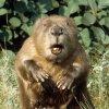 В Сибири задумались о переселении лишних бобров в Монголию