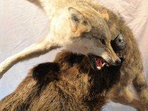 Кабан против волка