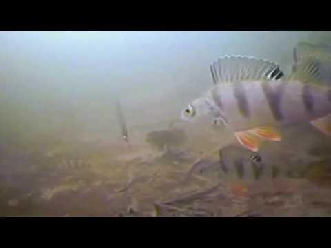 ловля окуня на блесну подводная съемка видео