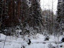 Декабрьский лес.