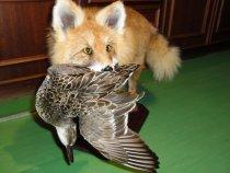 Лисица с чирком