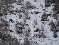 Самки Карпатского оленя