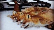 Охота на лису с Валерием Кузенковым