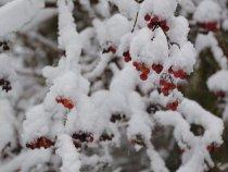 рябина алая в снегу