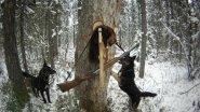 Секреты охоты с Сибирской лайкой на куницу