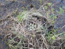 Затопленный лес, гнездо кряквы.