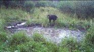 Фотоловушка медведь