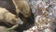 Зрелищная охота на Хозяина тайги