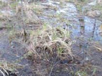 Затопленный лес, с гнездом кряквы.