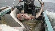 Рыбалка на гигантского Осетра! Ловля по крупному.