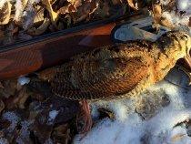 Морозоустойчивый вальдшнеп. Середина ноября, Белгородская область