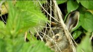 Зайчонок в траве. Заяц-русак. Hare in the grass