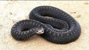 Змея ядовитая. Гадюка обыкновенная, реакция змеи на движение