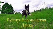 Русско Европейская лайка  (Зевс - 2 месяца)