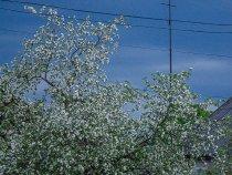 Когда яблони цветут...)
