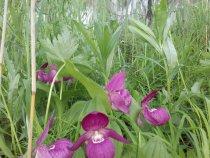 Дикая орхидея,  венерин башмачок.