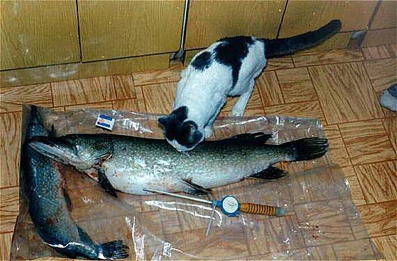Кот Васька думает как съесть щуку на 8,5 кг