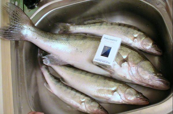 группу фото рыбы калуги нижний амур довольно популярная, музыкально-информационная