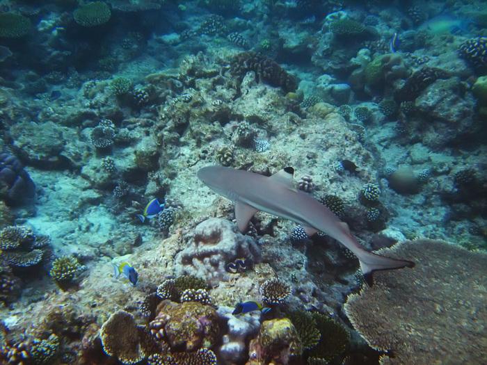 Вот такие акулы по 2-3 метра длинной постоянно крутились вокруг. Говорят безобидные. Но всё равно мороз по коже иногда пробегает.