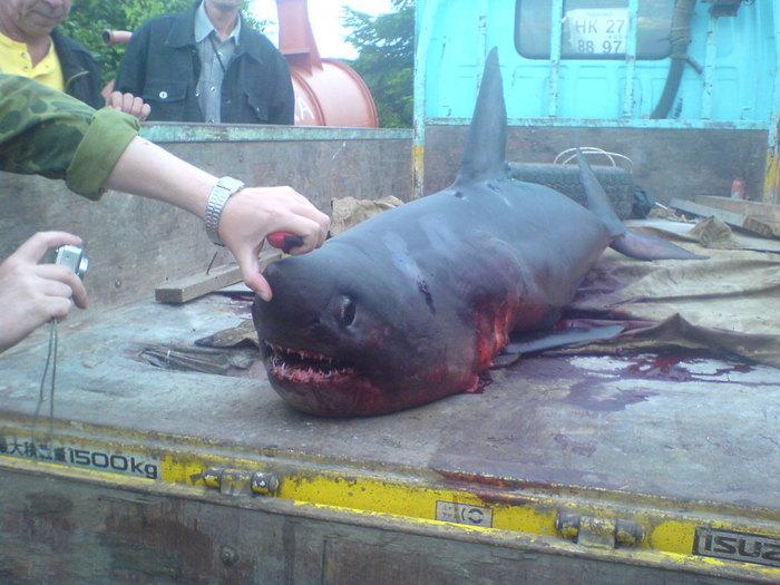поймана на этой неделе в Татарском проливе, Хабаровский край