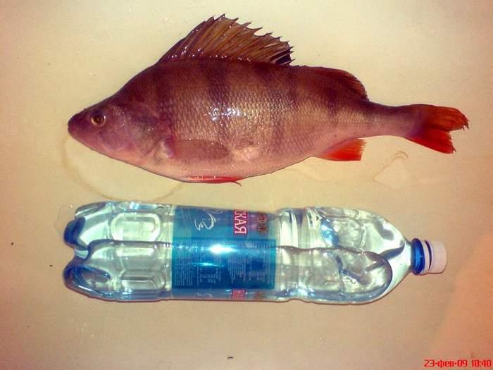 Мега окунь с Тайваня (700гр-36см.), пойман на мормышку 20.02.09.