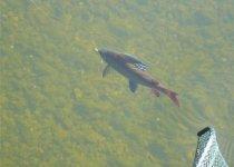 Вот он какой в воде, сибирский хариус (фото от Николая)