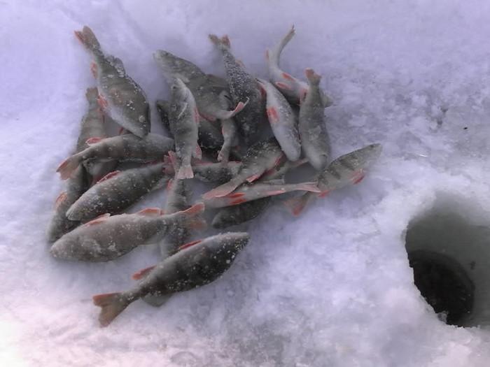 Ура!Первый в этом году улов полосатых -1.5кг