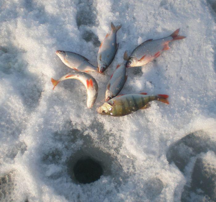 Сегодня на ОВХ береговая кромка с каждой лунки приносила вот такой улов