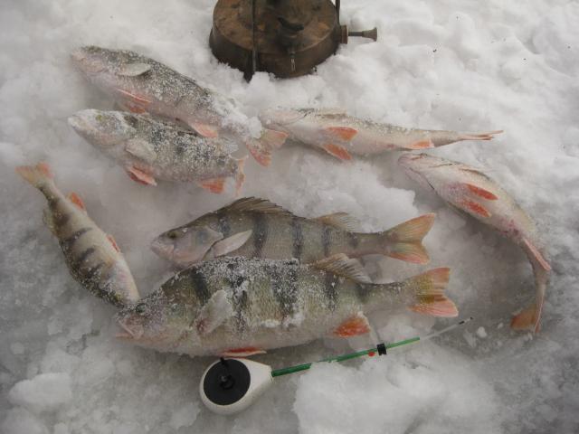 Сегодня около Тани под Ваней, за 2 часа с одной лунки, глубина 5 метров. С утра -33, старый, Ленинградской сборки примус не давал замерзнуть.
