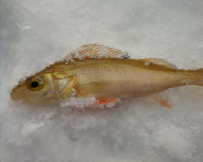 Вот такую золотую рыбку я поймал 23 февраля под Тальменкой:-))