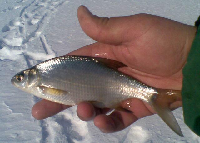 Опять эта неизвестная рыба
