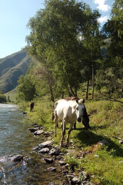 Лето. Горы. Кони вольно гуляют вдоль реки...