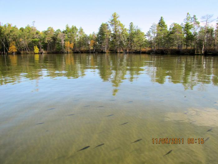 Стая окуня на таежном озере - рыбалка как в аквариуме (автор фото ALEX80)
