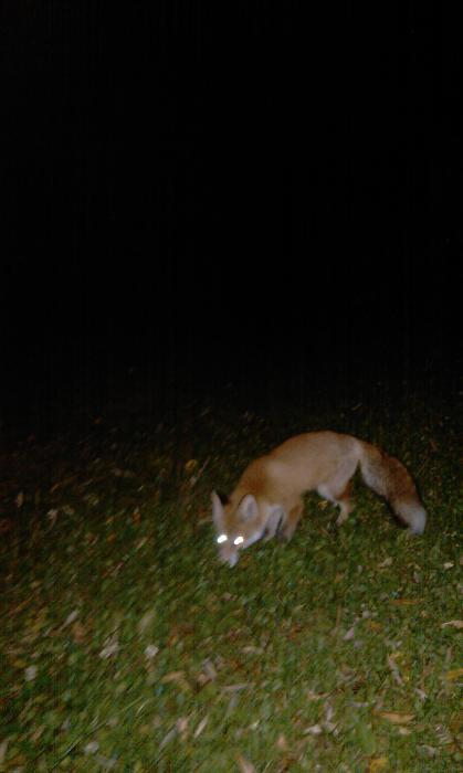 Реально две наглых лисы!