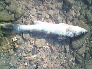 опять больная рыба