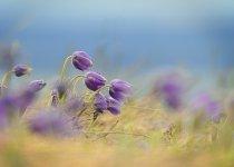 Сон трава-пушистое чудо весны.