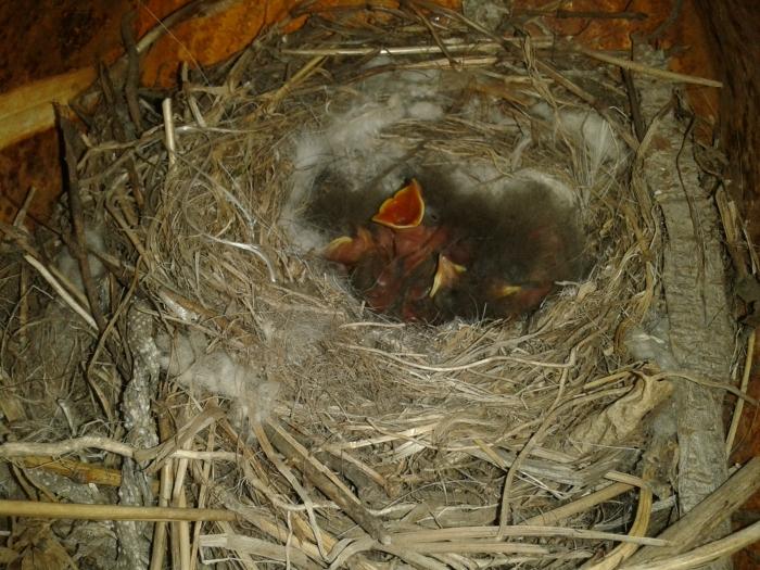 Птенцы трясогузки