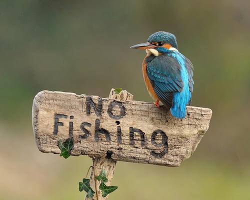 Зимородок-охотник за рыбой