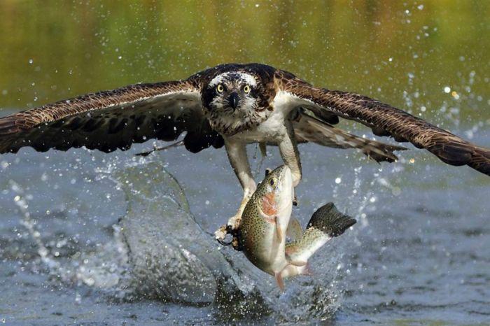 Скопа ловит рыбу