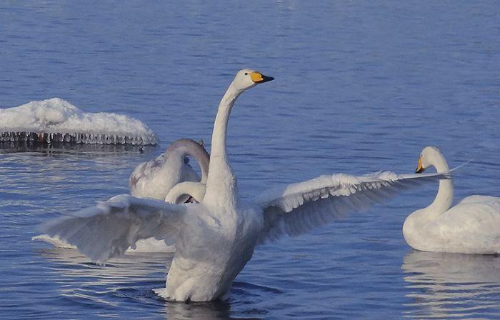 Лебеди в январе