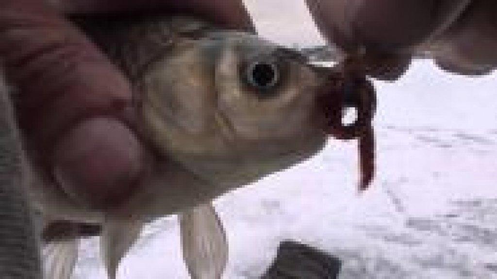 Ловля окуня зимой на червя