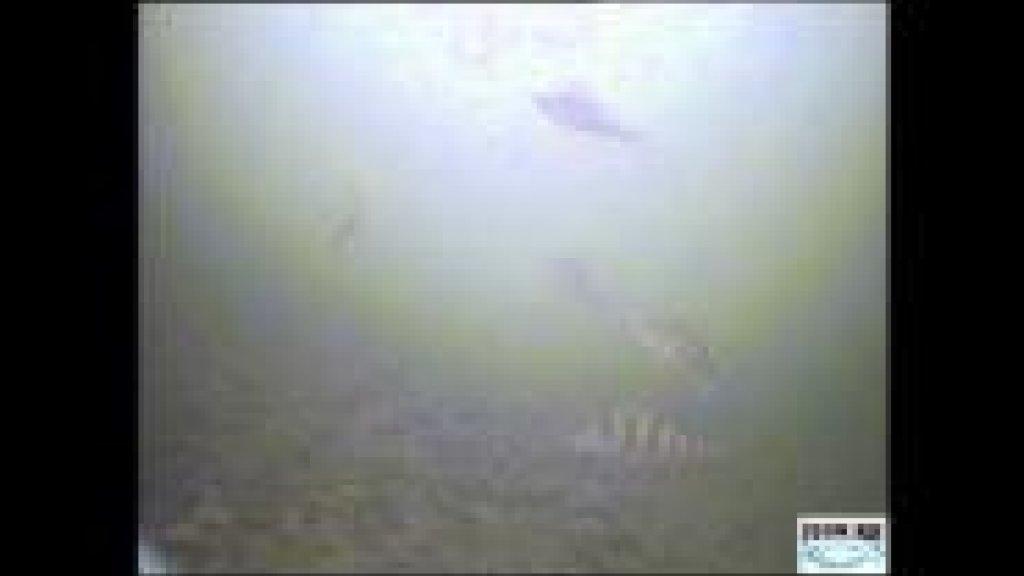 Подводные съемки - коматозный окунь. Ловля окуня на блесну