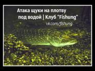 Атака щуки на плотву под водой