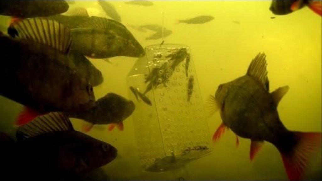 Рыбалка, эксперимент: окунь и малёк живец.